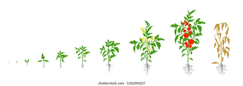 Tomato plant. Growth stages vector illustration. Solanum lycopersicum. Ripening period. From sprout to bush with fruits. The life cycle of the tomatoes. Root system. Greenhouses and use fertilizers
