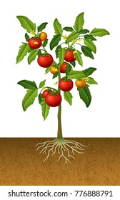 Tomato plant with root under the ground