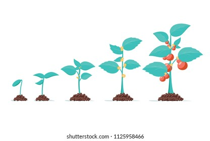 Tomato stage growth. Life cycle of a tomato plant, leaf, flower and fruiting stages. Vector flat style cartoon illustration isolated on white background. Agriculture cultivated plant. Eco product grow