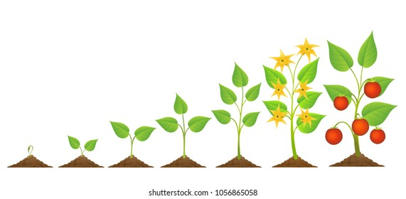 Tomatoes seedling and growing. Vector edible tomato plant planting and growth with flowers and crop isolated on white background