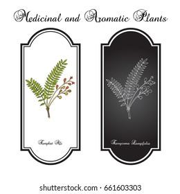 Tongkat Ali (Eurycoma longifolia), or Pasak Bumi, medicinal plant. Hand drawn botanical vector illustration