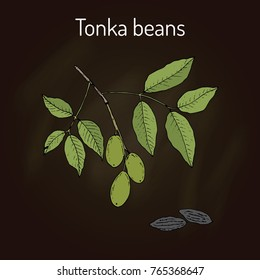 Tonka beans (Dipteryx odorata), aromatic and medicinal plant. Hand drawn botanical vector illustration