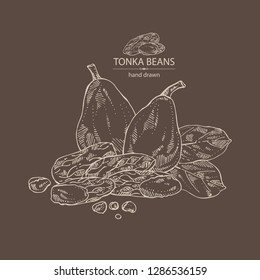 Tonka beans: tonka fruit, beans and leaves. Dipteryx odorata. Cosmetic, perfumery and medical plant. Vector hand drawn illustration