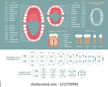 Tooth anatomy chart. Orthodontist human teeth loss diagram, dental scheme and orthodontics medical oral health, tooth anatomy or prosthetics, periodontal disease gums vector infographic chart
