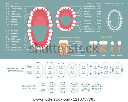 Tooth anatomy chart Orthodontist