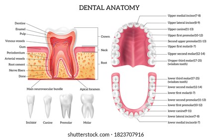 Tooth anatomy infographics with labelled teeth types and oral cavity structure realistic isolated vector illustration