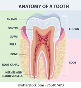Tooth Anatomy Images, Stock Photos & Vectors | Shutterstock
