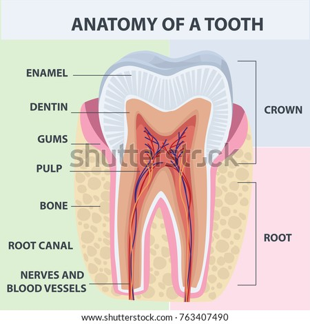Tooth Anatomy Vector Dental Infographics Medical Stock Vector ...