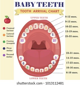 Tooth  arrival chart infographic. Temporary teeth - names, groups, period of eruption and shedding of the children. Vector illustration, baby teeth.
