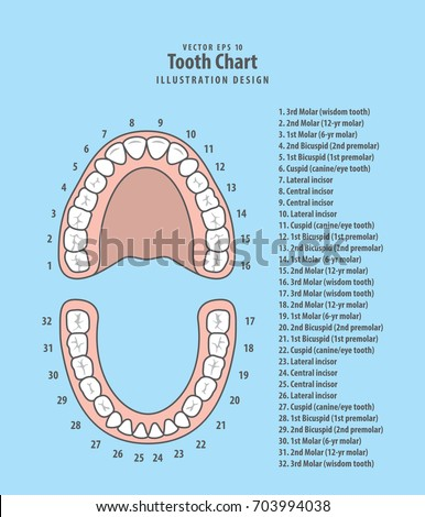 Tooth Chart Number Infographic Illustration Vector Stock Vector