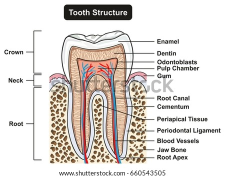 Tooth Cross Section Anatomy All Parts Stock Vector Royalty Free