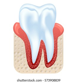 Tooth and gum structure. Realistic tooth isolated on white background. Vector illustration.