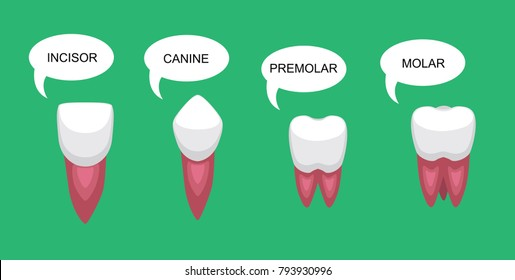 Tooth Types Bubble Cartoon Vector Illustration