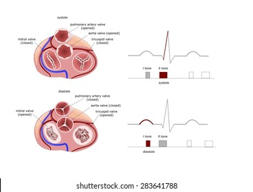 top view of cardiac valves: mitralic, tricuspid, during diastole and systole