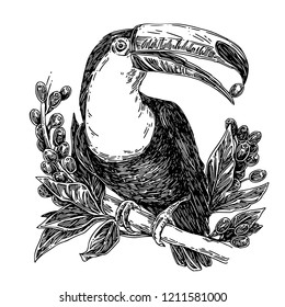 Toucan sits on branch of coffee tree and holds a coffee bean in its beak. Sketch. Engraving style. Vector illustration.