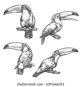 Toucan sketch set with tropical bird in different positions. American forest toco toucan bird sitting on branch with open beak. Exotic wild bird for t-shirt print and Amazonian wildlife symbol design