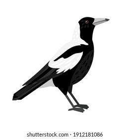 Traditional magpie. Cartoon flying bird, beautiful character of ornithology, vector illustration of crow with white feathers isolated on white background