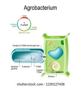 Transfer of T-DNA into plant cell from Agrobacterium. This bacterium is a natural genetic engineer, that can the insertion of a small segment of DNA from a plasmid, into the plant cell. genetic