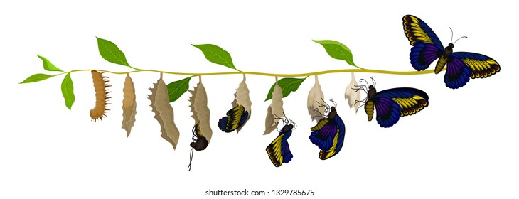 Transformation of butterfly from larva to adult insect. Life cycle. Nature and entomology theme. Flat vector design