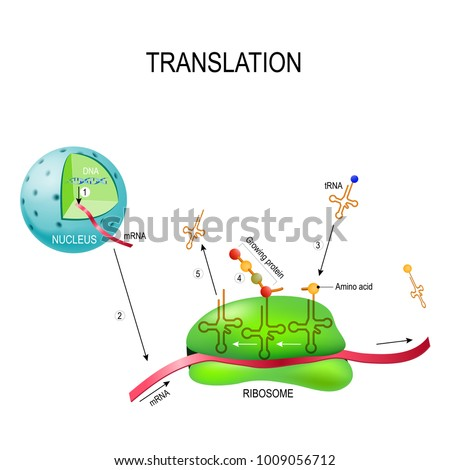 translation protein synthesis syntesis mrna 450w 1009056712 translation protein synthesis syntesis m rna dna stock vector