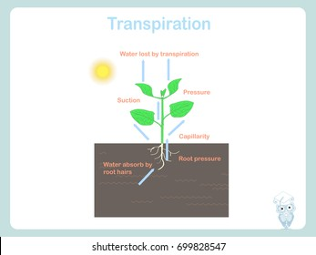 Transpiration of plant. Colorful illustration on white stock vector for education
