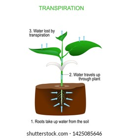 Transpiration is the process of water movement through a plant and evaporation from aerial parts (leaves, stems and flowers).