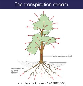 The transpiration stream