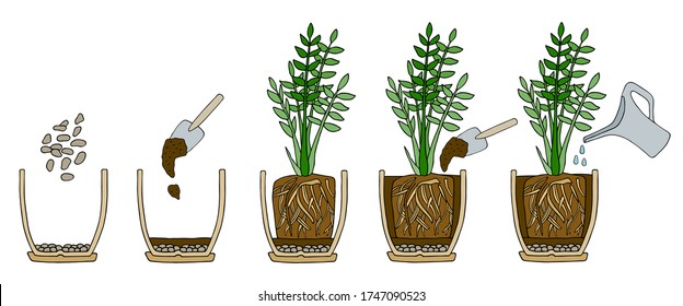 Transplanting potted flower steps. Vector instruction. How to repot a zamioculcas plant. Hand drawn cutaway colored scheme illustration. Gardening concept. Flower pot, drainage, potting soil, watering