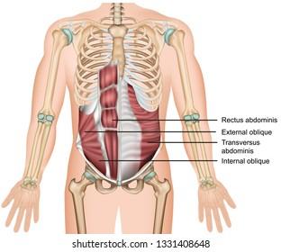 transversus abdominis muscle 3d medical vector illustration