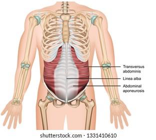 Transversus muscle 3d medical vector illustration, abdominals deep muscle