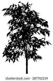 Tree, flower Benjamin - ficus tree, branches with leaves. Black silhouette, on white background. isolated - vector