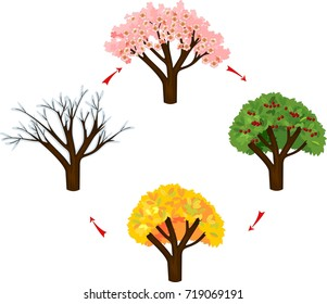 Tree at four seasons: spring, summer, autumn, winter. Life cycle of tree