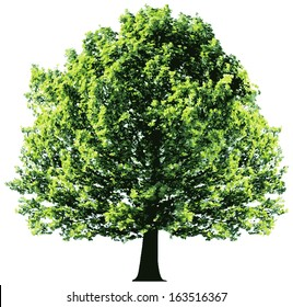 Tree with green leaves isolated on white background