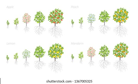 Tree Growth stages. Apple, peach and lemon mandarin increase phases. Vector illustration. Ripening period progression. Fruit trees life cycle animation plant seedling. Malus sylvestris.