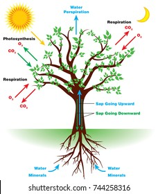 Tree photosynthesis diagram in English.