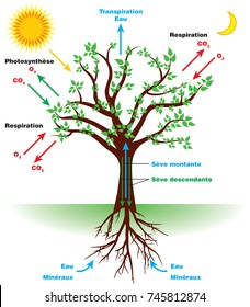 Photosynthesis diagram images stock photos vectors shutterstock tree photosynthesis diagram in french ccuart