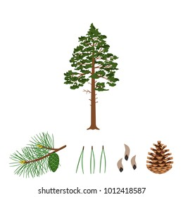 Tree pine, branch, pine cone, needles and pine seeds on a white background. Vector illustration.