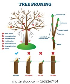 Tree pruning vector illustration. Labeled educational plant shaping scheme. Explanation with branch cutting correct method and mistakes. Biological diagram with branch structure and removal reasons.