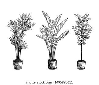 Tree Sketch : Hand drawn architect trees. Sketch Architectural landscape.Indoor ornamental plants. Reed rhapis, Slender lady palm, Ficus lyrata