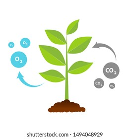 The tree that grows from seed is a big tree with green color and the seedlings grow into a big tree. Illustration of oxygen release and carbon dioxide absorption