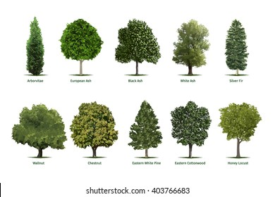 Tree types, sorts/specimens.Vector tree illustrations of Arborvitae, European Ash, Black Ash, White Ash, Silver Fir, Chestnut, Eastern White Pine, Cottonwood and Honey Locust trees.