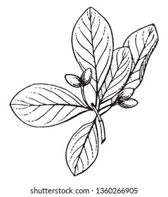 Trees with swollen bases; fruit that drupe, longer than wide, vintage line drawing or engraving illustration.