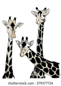 Trendy African animals vector illustration. Three funny looking to the camera giraffes with characters heads and spotty necks . Great interior sketching graphic poster.