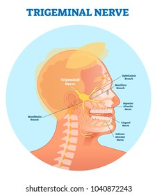 Trigeminal nerve anatomical vector illustration diagram with human head cross section. Medical nerve scheme.