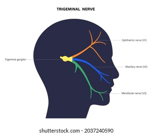 Trigeminal nerve diagram. Ganglion, ophthalmic, mandibular and maxillary nerves. Sensations to the face, mucous membranes, and other structures of the human head. Anatomical flat vector illustration.