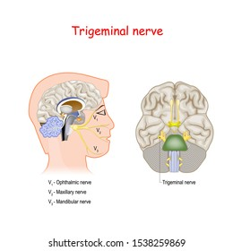 Trigeminal nerve. head cross section and Bottom View Of The Brain. Human anatomy. Educational guide.  vector illustration for medical and science use