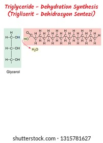 Triglyceride - Dehydration Synthesis