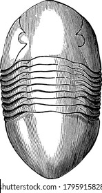 Trilobite, any member of a group of extinct fossil arthropods of the phylum arthropoda. This figure represents Asaphus Gigas Tribolite, vintage line drawing or engraving illustration
