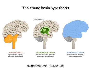 triune brain hypothesis. theory about evolution of human's brain. limbic system. Reptilian complex, mammalian brain,  Neocortex