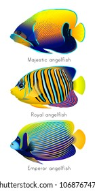 Tropical fishes set. Blue-girdled or majestic angelfish (Pomacanthus navarchus), Royal or regal angelfish (Pygoplites diacanthus), Emperor angelfish (Pomacanthus imperator). Vector illustration.